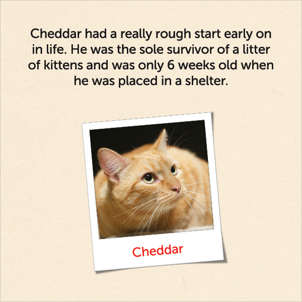 Cheddar had a really rough start early on in life. He was the sole survivor of a litter of kittens and was only six weeks old when he was placed in a shelter