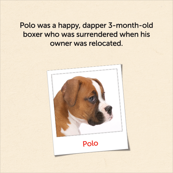 Polo was a happy, dapper 3-month-old boxer who was surrendered when his owner was relocated