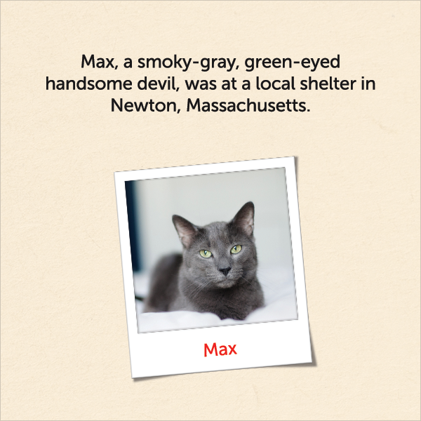 Max, a smoky-gray, green-eyed handsome devil, was at a local shelter in Newton, Massachusetts