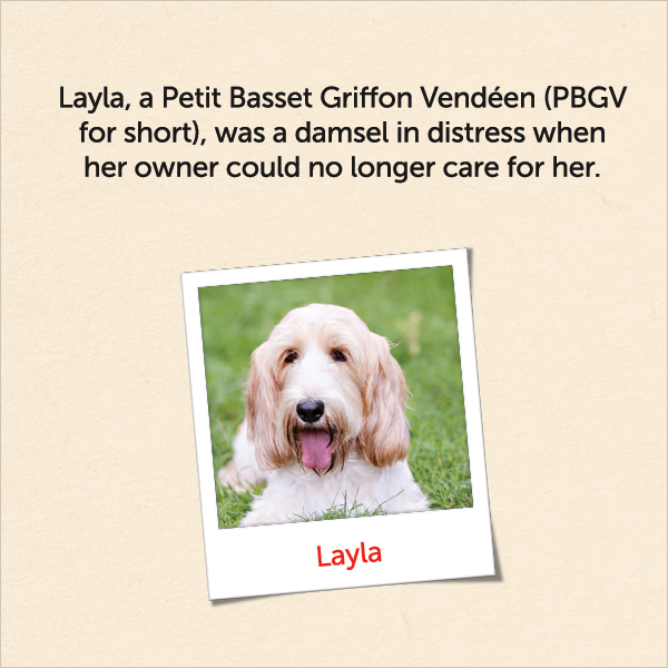 Layla, a Petit Basset Griffon Vendeen (PBGV for short) was a damsel in distress when we owner could no longer care for her