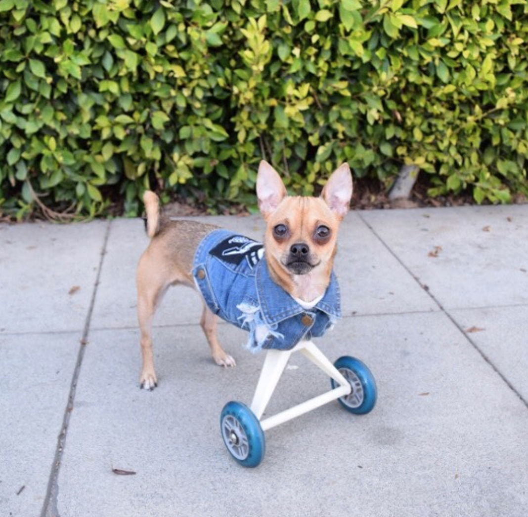 Small dog on wheels
