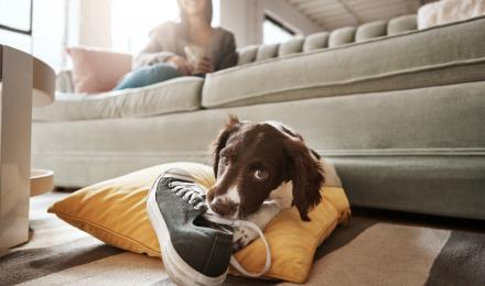 puppy in living room with mom chewing on shoe