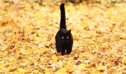 Black cat walking in leaves